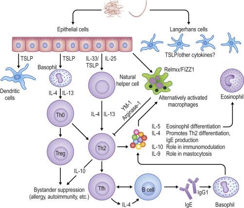 helminths innate immune response