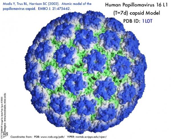 human papilloma virus from