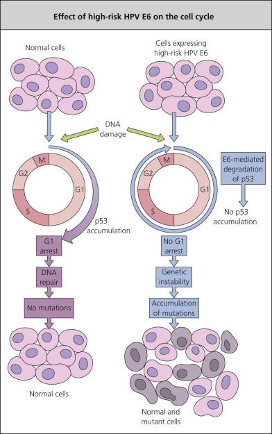 ductal papilloma histology papillomavirus genital herpes
