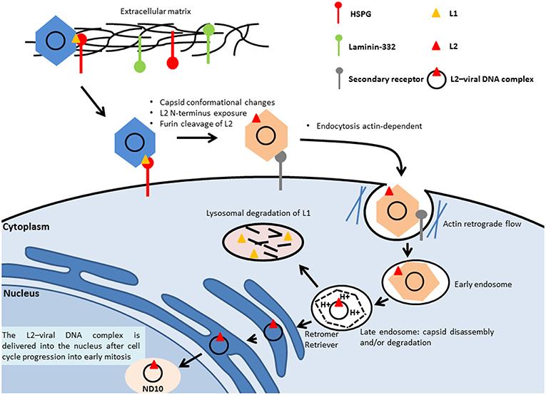 papilloma tumore uomo papillomavirus research abbreviation