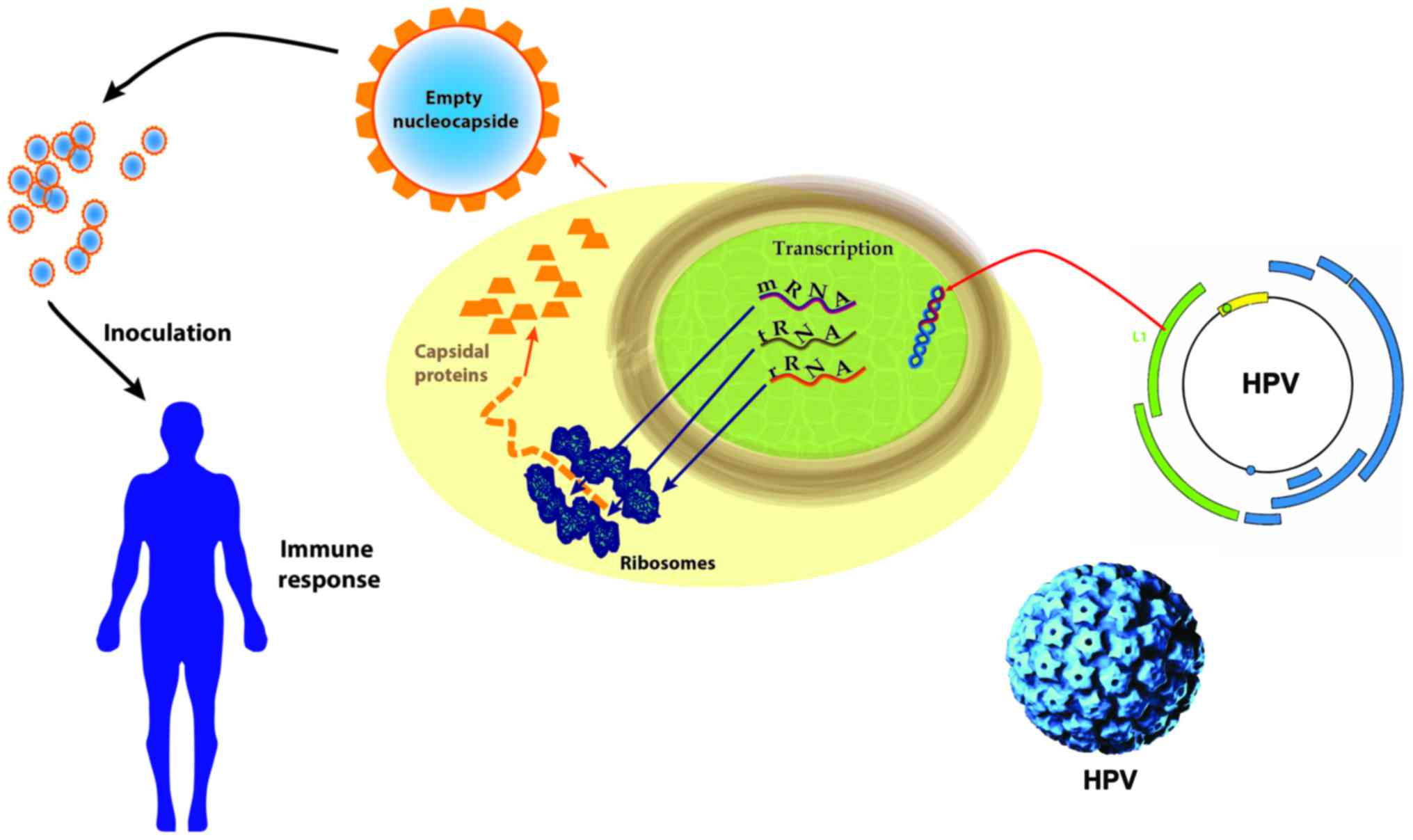 human papillomavirus vaccine production hpv no utero