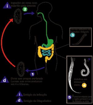 oxiuros morfologia simptome cand copilul are viermisori