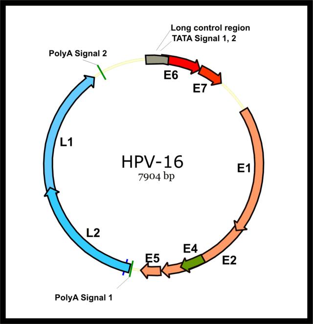 genome human papillomavirus type 6 age moyen papillomavirus
