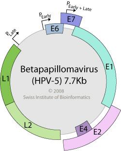 papillomavirus circular genome papilloma lid icd 10