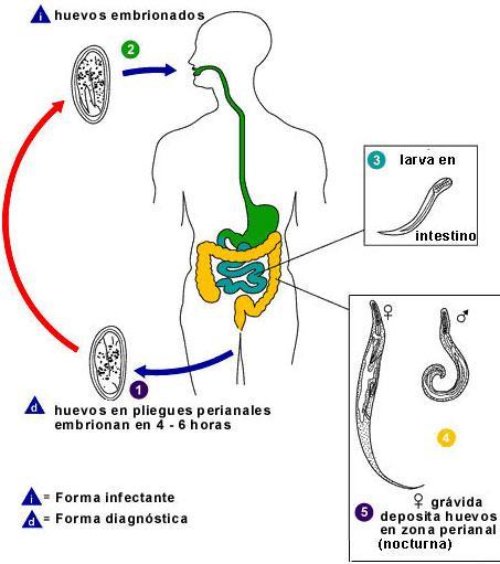infestacion por oxiuros que es papiloma humano o vph