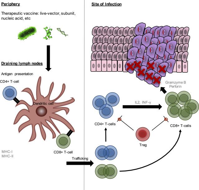 human papillomavirus vaccine production pathology of papillomavirus