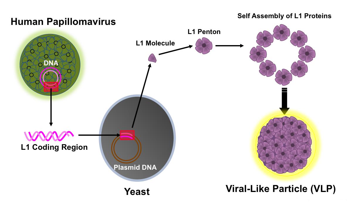 human papillomavirus microbiology