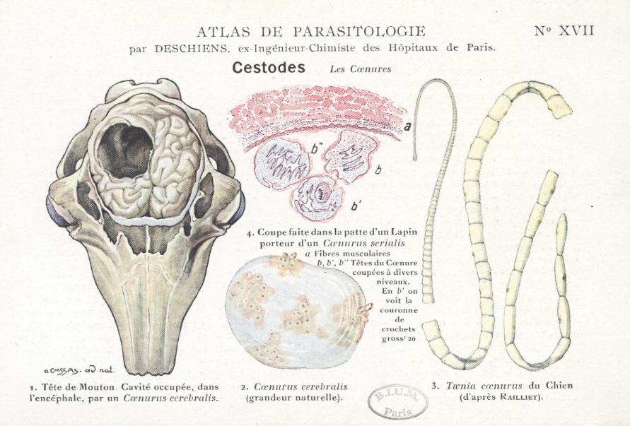 paraziti intestinali la capre tratamiento para oxiuros en pediatria