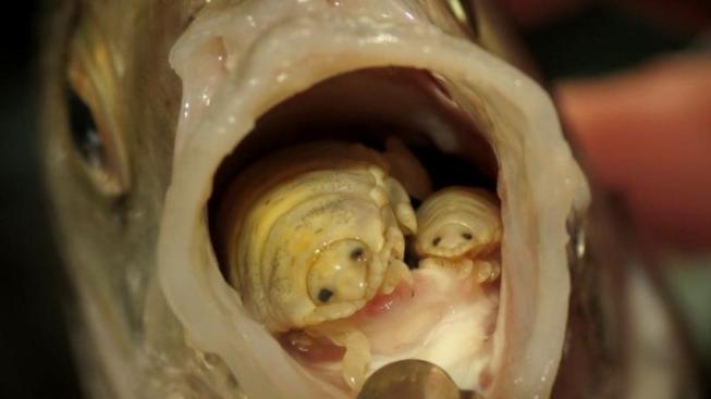 paraziti v rybach