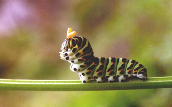 papillon zeugma wifi