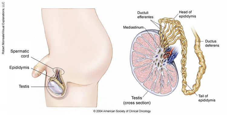 cancer hpv males