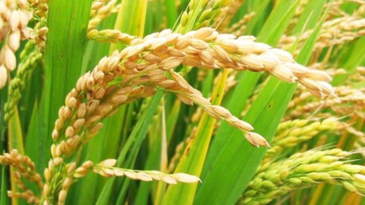 La ce ajută cura cu tărâţe de grâu