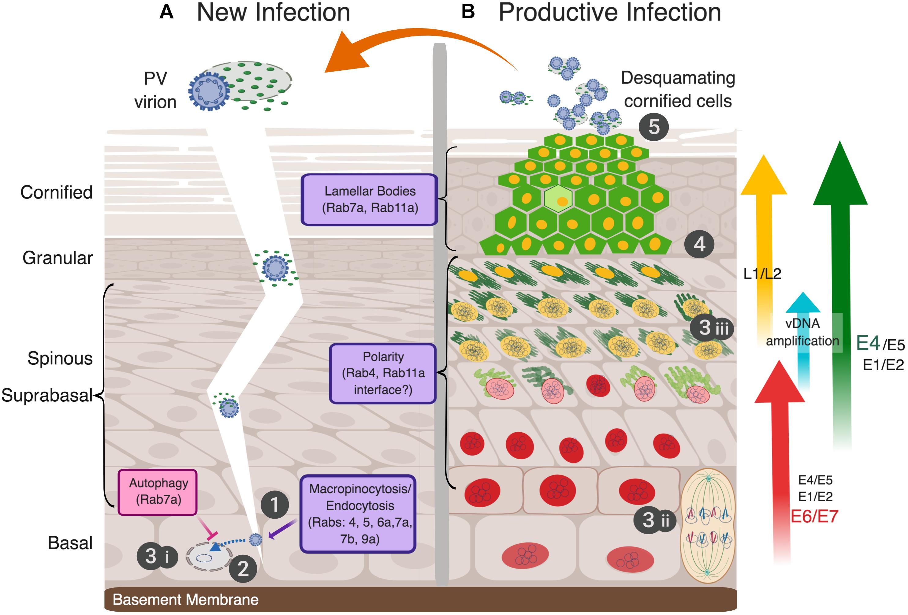 human papillomavirus infection requires cell surface heparan sulfate