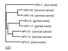 papilloma virus 6 e 11