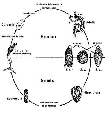 worms trematode cura papilloma virus uomo