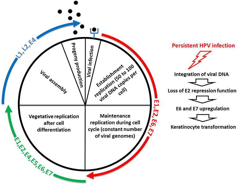 papillomavirus g neuroendocrine cancer type