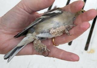 papilloma virus in birds
