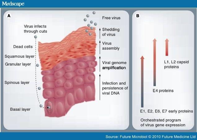 hpv virus replication