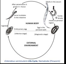 enterobiasis morphology