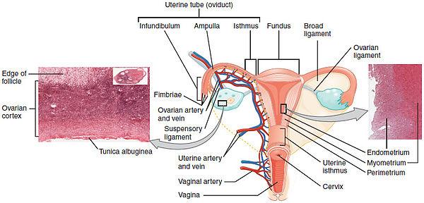 hpv virus rak grlica maternice papilloma virus positivo senza lesioni