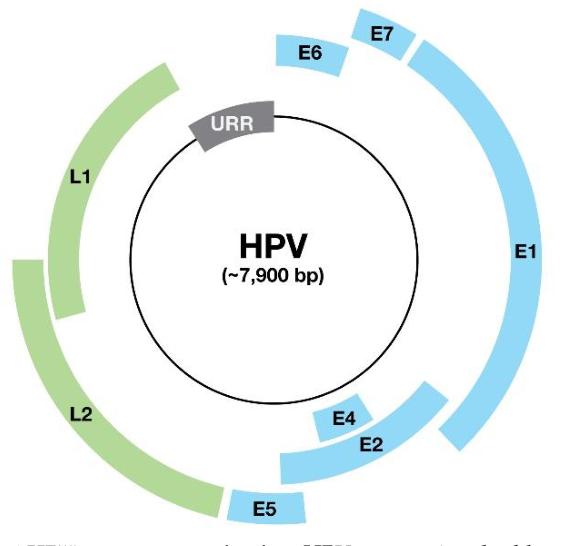 papillomavirus circular genome