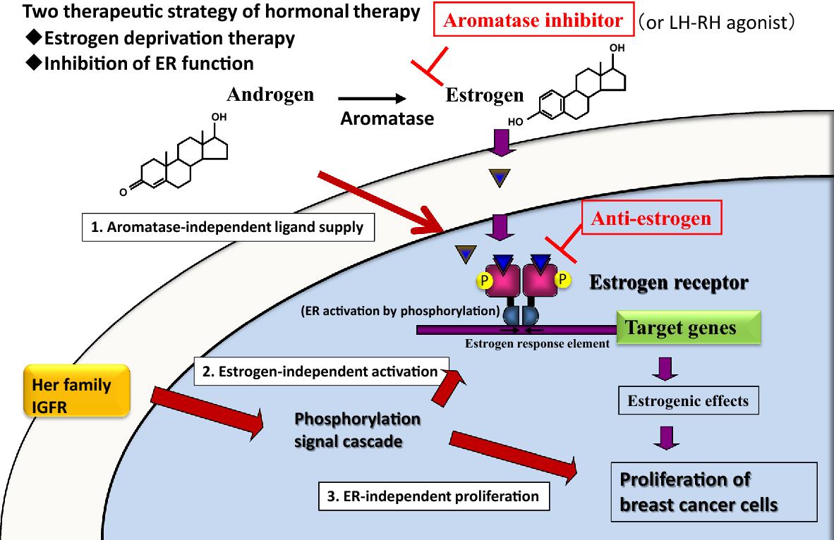 breast cancer hormonal or anti-estrogen therapy papillomavirus testen