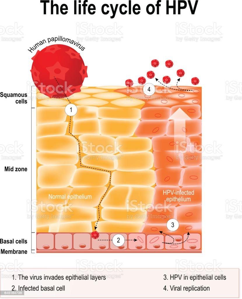 papillomavirus a vie