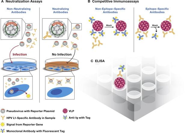 human papillomavirus vaccine production