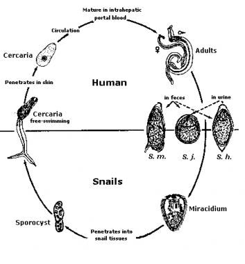schistosomiasis meaning in hindi