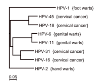 hpv virus family human papillomavirus nature