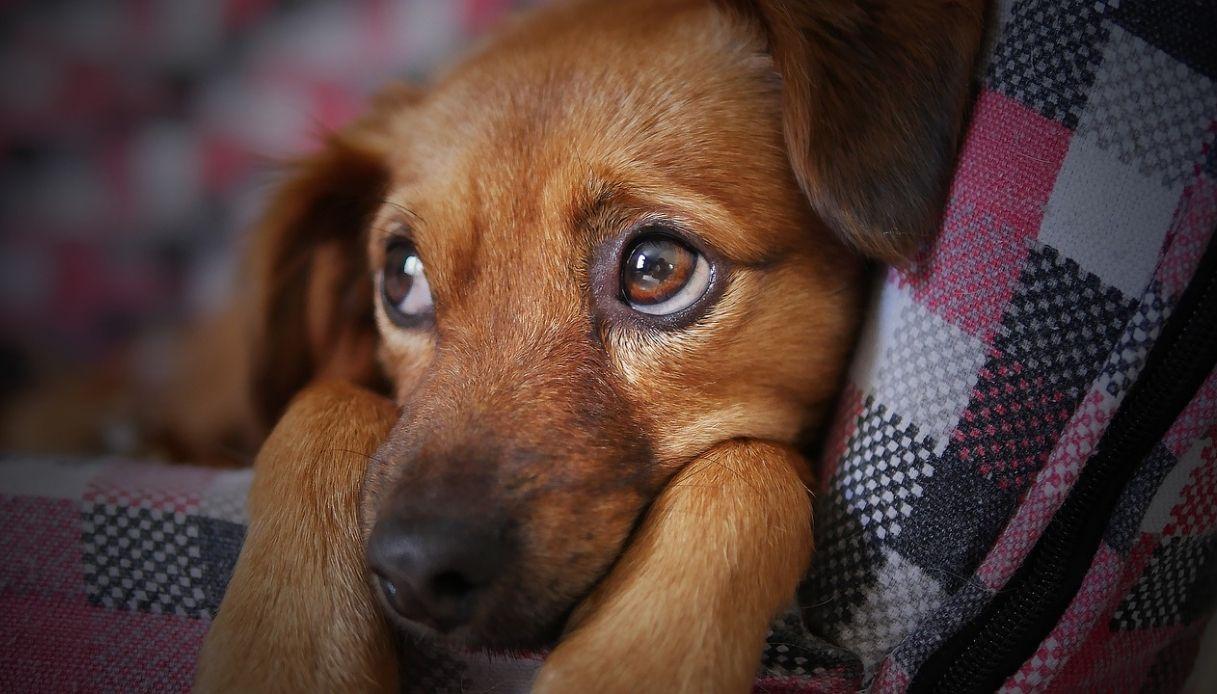 papilloma virus cane contagio