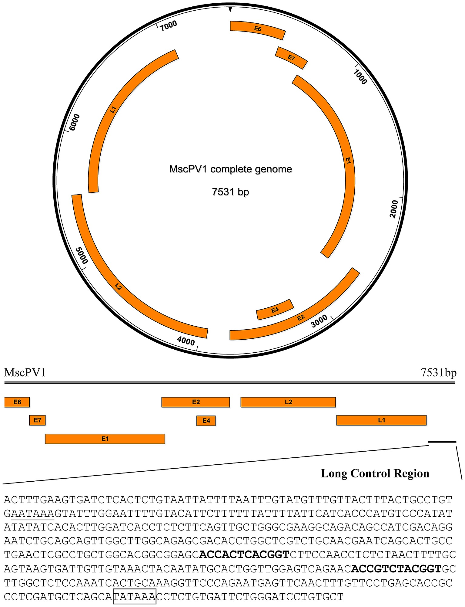 papillomavirus circular genome cancer laringian stadiu 4