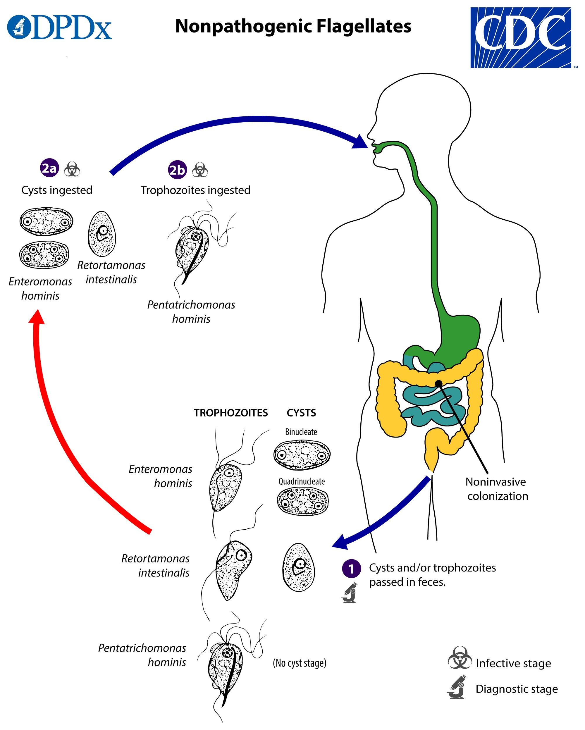 paraziti intestinali blastocystis hominis