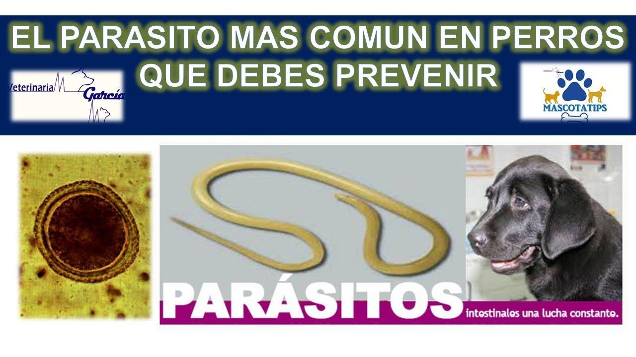 paraziti toxocara papilloma virus si trasmette alluomo