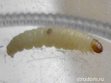 veruca foot infection treatment papilloma virus allugola