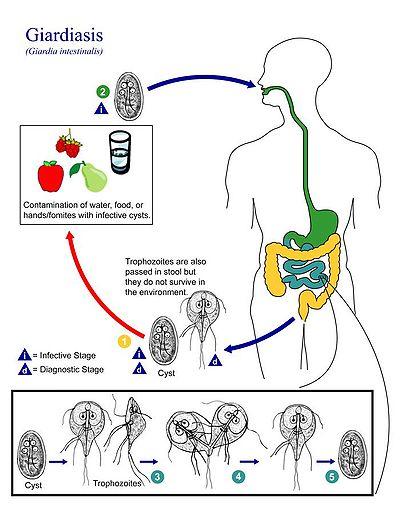 protozoar giardia