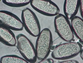 oxyuris equi huevos il papilloma virus e una malattia venerea