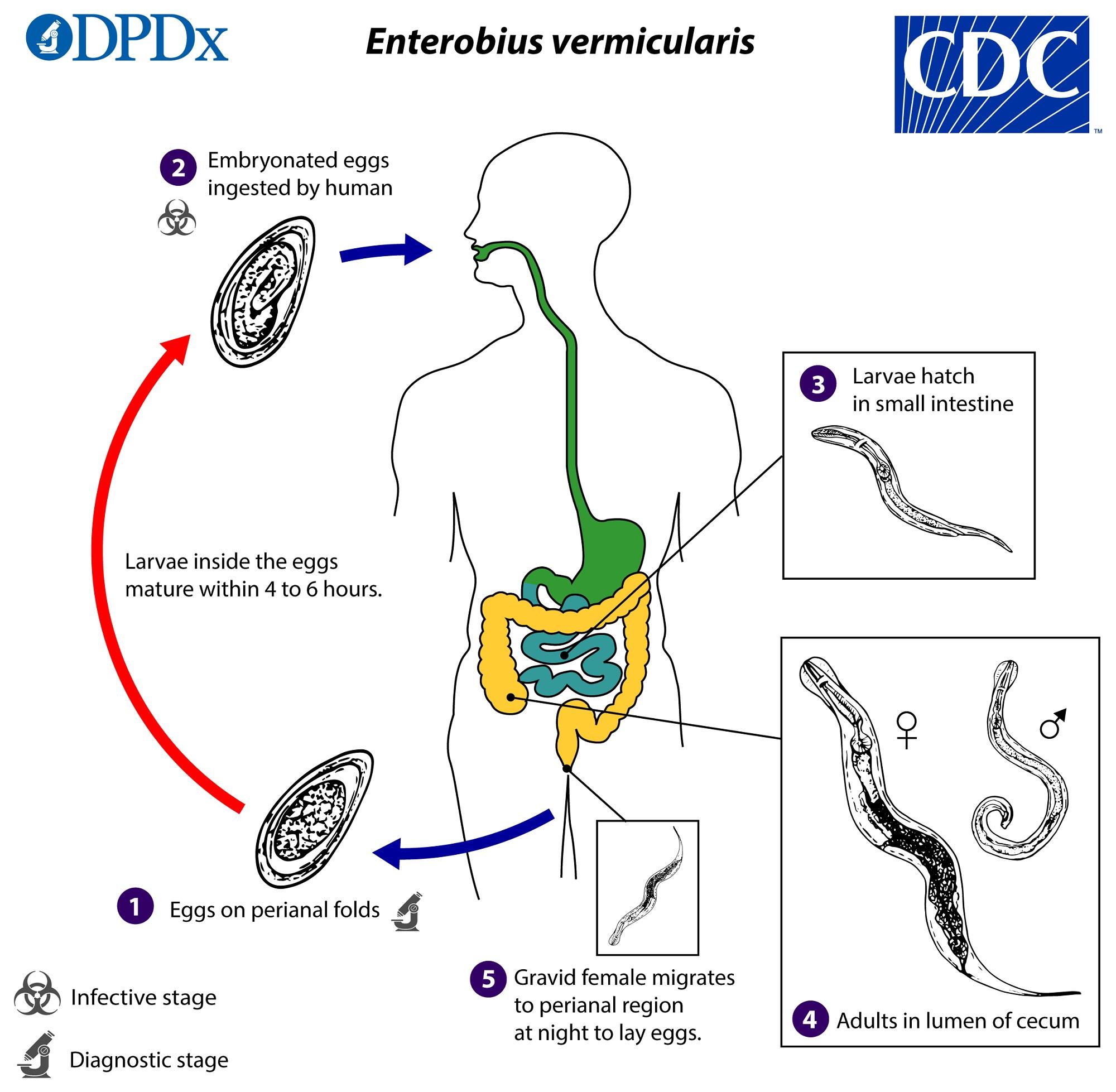 enterobiasis life cycle