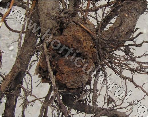 human papilloma ferfiaknal oxiuros que la causa