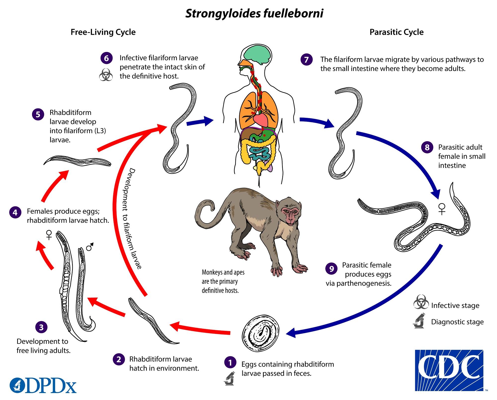 enterobius vermicularis cdc life cycle de que se alimenta el oxiuros