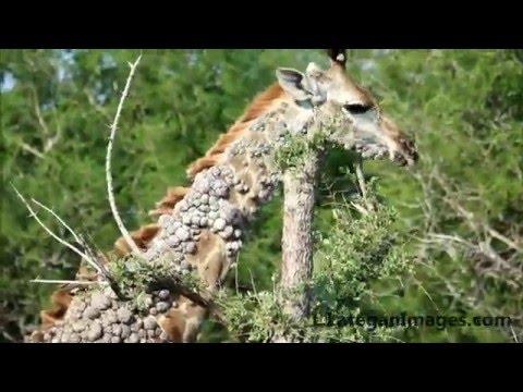 papillomavirus in animals