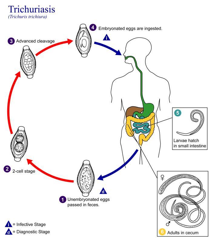 enterobius vermicularis cdc life cycle