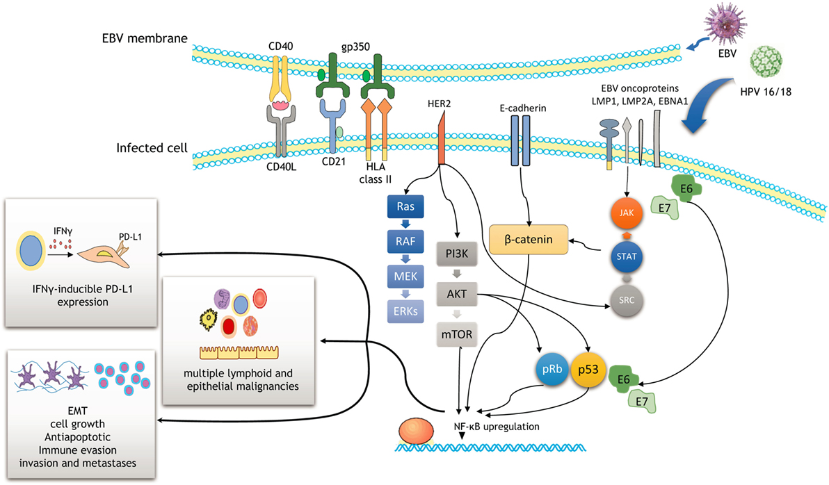 papillomavirus transmission bain