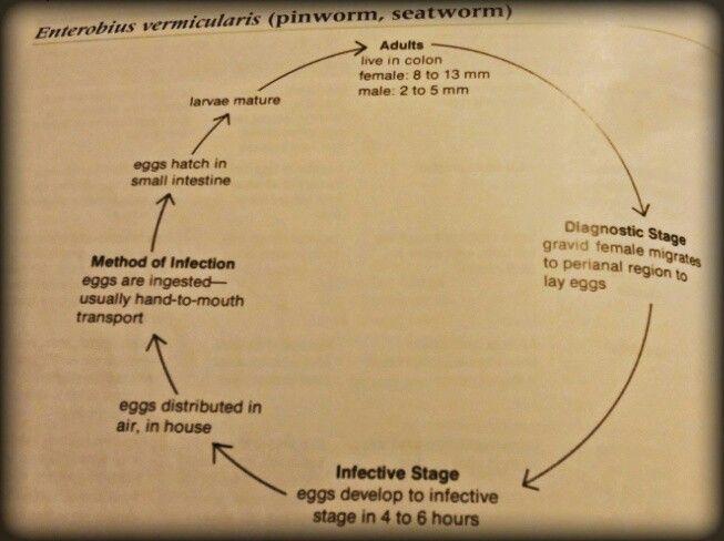 enterobius vermicularis source of infection cancerul gastric lucrare de diploma