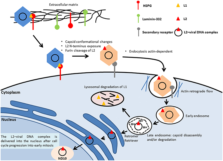 hpv warts cancerous virus del papiloma en ninos pequenos