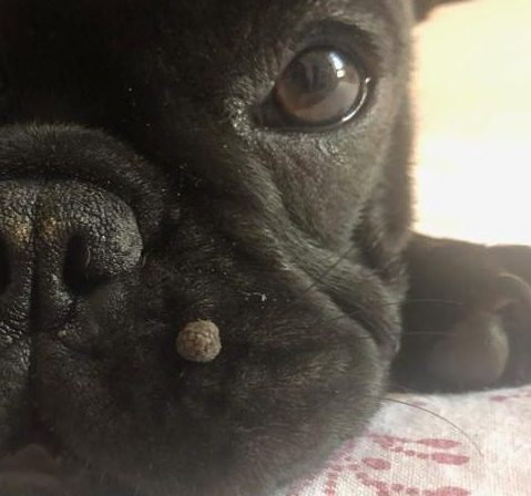 papilloma occhio cane