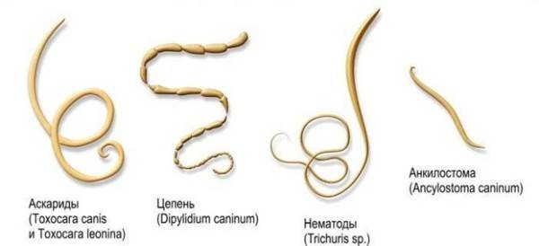 paraziti intestinali catei