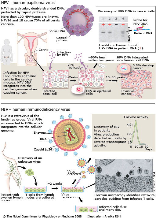 how does hpv cause cancer mechanism viermele cu carlig