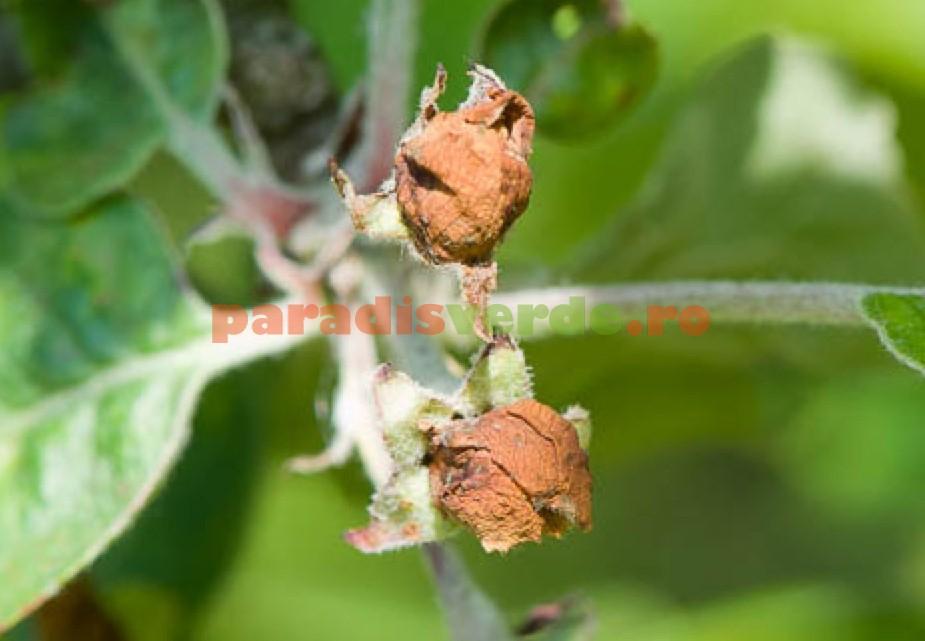 viermi flori papilomatosis bovina historia