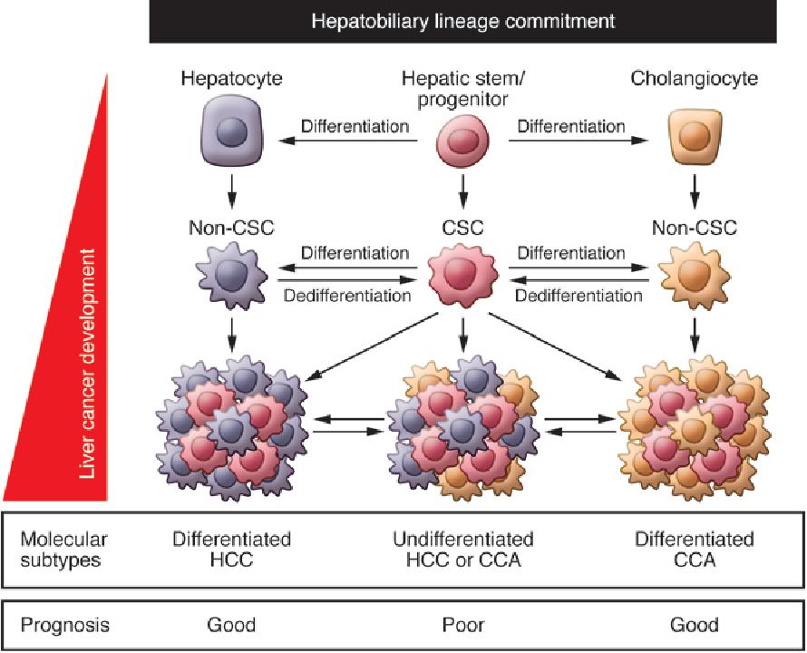 hepatic cancer differentiation human papillomavirus cure 2019
